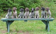 Black and brown gsp puppies