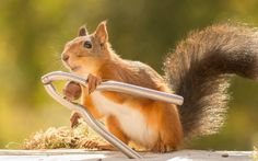 This red squirrel looks like it has learnt how to crack its own nuts in Bispgarden, Sweden