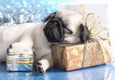 exhausted lil' pug
