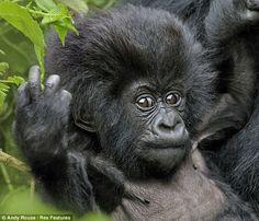 Pequeno gorila