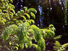 #Iserlohn #Stadtwald #Nadelbaum #Zweig #Wald #Sauerland