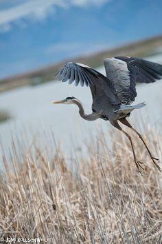 Great Blue Heron bird in flight at Bear River Migratory, Utah