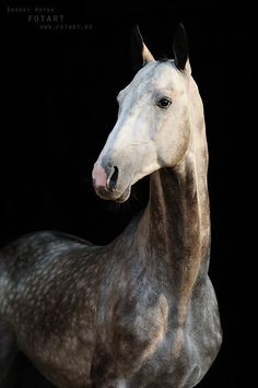 """classical-equitation: """" all-the-horses: """" Ovlak-Geli Akbelek x Ogra Akhal Teke, Mare Born 2006 """" I actually love this breed so much! They produce such quality competitive horses. Horse Girl Photography, Equine Photography, All The Pretty Horses, Beautiful Horses, Zebras, Arte Equina, Akhal Teke Horses, Mundo Animal, Horse Breeds"""