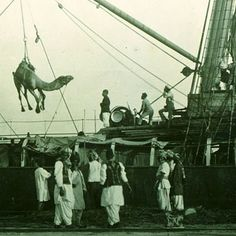 Unloading camels in Port Augusta, Australia, 1890s.  For more than 50 years until the 1920s, camel trains radiated into the outback from railways that gradually extended into the interior. In long strings of up to 70, they carried building and railway materials, food, furniture, water, mail and medicine to the ventures, returning with baled wool and oil. Camel cartage bases were formed at railheads or near ports, and towns of imported Afghan cameleers developed on their outskirts.