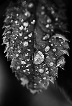 Water droplets on leaf black and white