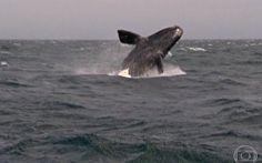 Filhotes de baleias brancas têm dificuldade de boiar nas primeiras horas de vida