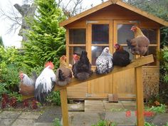 Hens...they all stick together!