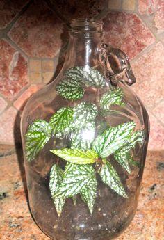 The Forgotten Terrarium - love the variegated leaves