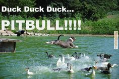 Just Something Funny: Animal memes – Duck duck duck