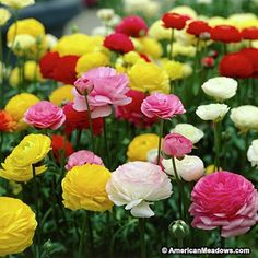 This variety of Ranunculus is known as Persian Buttercups, sun loving producing magnificent, rose-like flowers that are gorgeous both in the garden and cut for bouquets. Prolific blooming plants are encouraged by picking the flowers to stimulate more blooms. Hardy in zones 8 - 10, Ranunculus is considered an annual in all other zones. (Ranunculus)