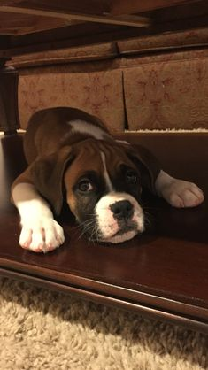 BOXER DOGS The cutest boxer puppy! Look at those sweet, soulful, boxer eyes! Cute Boxer Puppies, Dogs And Puppies, Doggies, Dogs 101, Boxer And Baby, Boxer Love, I Love Dogs, Cute Dogs, Awesome Dogs