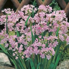 Pink Allium Bulb Unifolium, Persian Oni on Allium Flowers, Bulb Flowers, Flower Pots, Planting Flowers, Summer Flowers, Love Flowers, Beautiful Flowers, Tulip Season, American Meadows