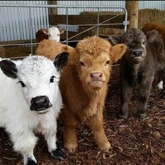 Miniature cows, too cute. - Miniature cows, too cute. Cute Baby Animals, Animals And Pets, Funny Animals, Miniture Animals, Cute Baby Cow, Strange Animals, Miniature Cows, Miniature Highland Cattle, Fluffy Cows