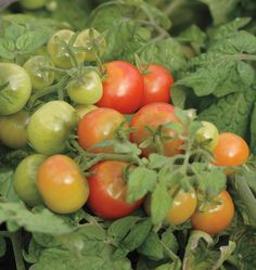Tiny Tim Cherry Tomato Seeds and yield masses of miniature cherry tomatoes from dwarf plants. Perfect for small spaces and patio gardens. Order Tiny Tim today.