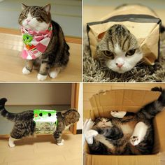 10 Of The Most Famous Cats On The Internet | #5. Maru, master of boxes