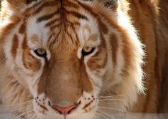 aw man he's pretty! this is a Liger, my fellow Pinners :D