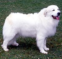Pet Finder! Best Breed EVER Great Pyrenees! Save a life today :)