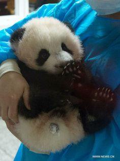 giant panda cub china | Cute giant panda cubs- China.org.cn