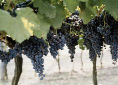 Distance Between Concord Grape Vines at Planting and training