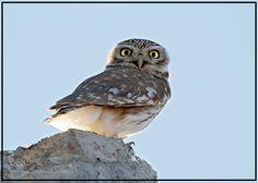 Little Owl ! by arshadashraf1 #animals #animal #pet #pets #animales #animallovers #photooftheday #amazing #picoftheday