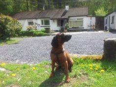 Bavarian mountain hound  Branston