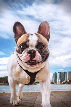 French Bulldogs make outstanding watchdogs as well as will alert their people to approaching unfamiliar people, however it's not their design to bark without cause. They can be protective of their residence and family members and some will certainly attempt to protect both with their life. Ideas To Help You Keep Up With Your Puppy Dogs are already considered mans' best friend for thousands of years. That lovable animal that you think of as being a member of the family will be able to serve French Bulldog Names, French Bulldog Blue, French Bulldogs, Pet Dogs, Dogs And Puppies, Pets, Dog Varieties, Kinds Of Dogs, New Puppy