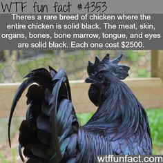 Rare solid black chicken - WTF fun facts(I WANT ONE TO CUDDLE )