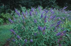 Butterfly Bush Adonis Blue | Ellens Blue Butterfly Bush Buddleia ellens blue.jpg