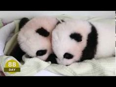 The Atlanta zoo has new twin panda cubs named Mei Lun and Mei Huan, and thanks to this time lapse video you can watch them grow