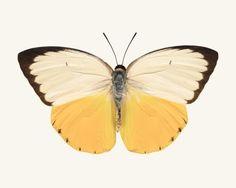 Orange Migrant Butterfly Photo - fine art print by Allison Trentelman – Rocky Top Studio