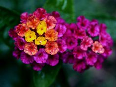 """More """"Barbie Bouquets"""" - check out the color on this Lantana!"""