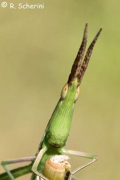 Horse head grasshopper. (Pseudoproscopia scabra)