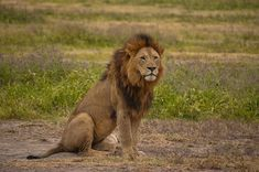 lion sitting and waiting for it's prey to come out.