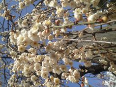 溢れだす梅の花