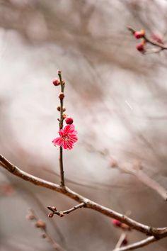 Prunus mume 'Matsurabara Red' Japanese apricot
