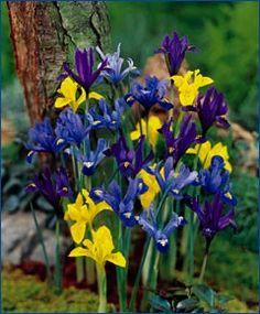 "Iris Rock Garden Mixture A low-growing, colorful mixture! Bulb size: 6 cm/up. Early April. 4"". HZ: 5-9. Catalog #3689 25/$6.2550/$10.25100/$14.75200/$27.50"