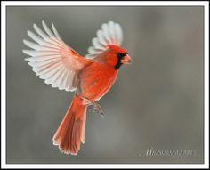 cardinal flying | photo