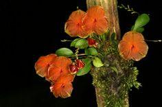 Lepanthes telipogoniflora 6998
