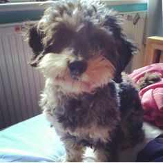 This is my puppy, Monty. He's half daschund and half minature poodle, a Daschapoo if you will, and he's the cutest.