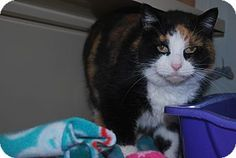 2/22/17 New Castle, PA - Domestic Shorthair. Meet Hilda, a cat for adoption. http://www.adoptapet.com/pet/17384145-new-castle-pennsylvania-cat