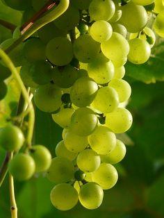 Il grappolo sintesi perfetta di sintesi degli zuccheri e garanzia di freschezza