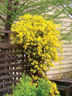 Carolina jasmine (aka swamp jessamine) is a great choice for southern gardeners! I have it growing in my yard. Via statebystategardening.com