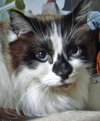 Seurat is an adoptable Ragdoll mix Cat in Kirkland, WA. Date of Birth: about 6/1/2006      Location: Owner's home NOTE: This is a courtesy posting for the owner. MEOW has no personal experience with ...