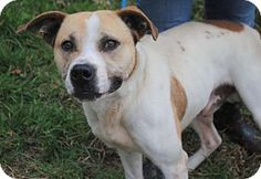 Pictures of Harley a Terrier (Unknown Type, Medium)/Pointer Mix for adoption in Anniston, AL who needs a loving home.