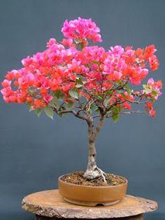 Indian bonsai plant