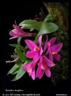 Dendrobium laevifolium. A species orchid (color)  http://www.orchidspecies.com/denlaevifolium.htm
