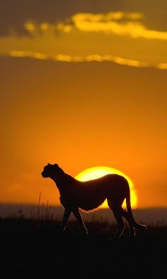 Cheetah at Sunset at Masai Mara Reserve in Kenya ~ http://suitcasesandsunsets.com/kenya.html