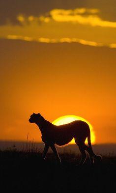 Cheetah at Sunset at Masai Mara Reserve in Kenya…