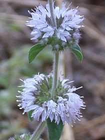 Menthe pouliot — Pennyroyal is toxic to humans and has differing effects dependent on the volume and concentration ingested