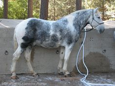Had a gray and white spotted draft gelding.had to donate him to the Kentucky Horse Park.all he did was eat and tear up the pasture! Kentucky Horse Park, Puppy Images, Most Beautiful Horses, Draft Horses, Horse Photos, White Horses, Horse Barns, Horse Breeds, Horse Love